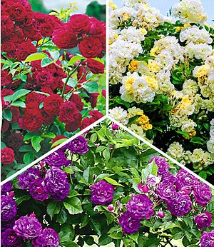 Rambler-Rosen-Kollektion; 3 Pflanzen