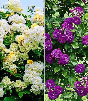 Rambler-Rosen-Sortiment zum Vorteilspreis,2 Pflanzen