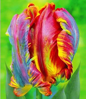 "Regenbogen-Tulpe ""Blumex®"",25 St."