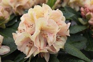 Rhododendron Hybride 'Belkanto'®
