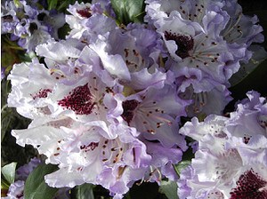 Rhododendron Hybride 'Blue Peter'