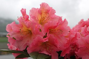 Rhododendron Hybride 'Dolcemente' INKARHO