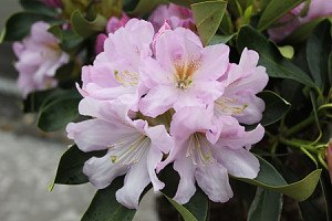 Rhododendron Hybride 'Dufthecke'® lila, INKARHO