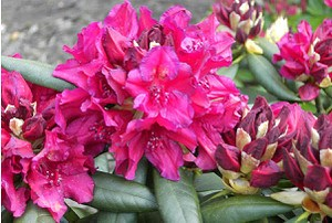 Rhododendron Hybride 'Mrs PDen Ouden'
