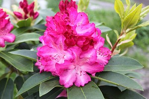 Rhododendron Hybride 'Passion'INKARHO