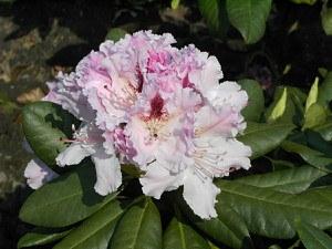 Rhododendron Hybride 'Progres'