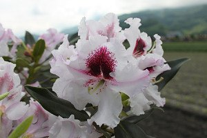 Rhododendron Hybride 'Sapporo'® INKARHO