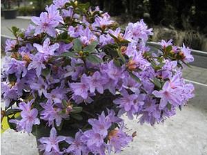 Rhododendron impeditum 'Moerheim'