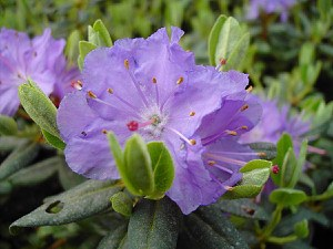 Rhododendron impeditum 'Ramapo'