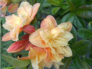 Rhododendron luteum 'Csardas'(Knap-Hill Azalee)