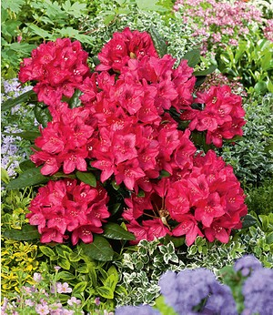 Rhododendron Rot,1 Pflanze