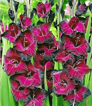 """Riesen-Gladiole """"Schönheit derNacht"""",15 Stück Gladiolus"""