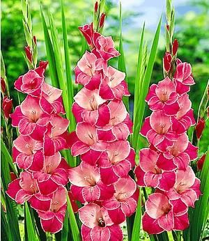 """Riesen-Gladiolen """"Invitation"""",12 Stück Gladiolus"""