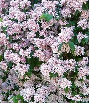 Rosa Perlmuttstrauch,2 Pflanzen