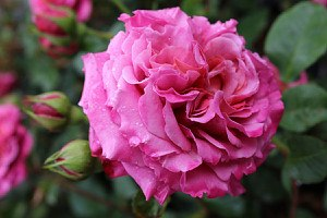 Rose Agnès Schilliger ® (im grossen Container)
