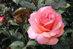 Rose Belle du Seigneur® (im grossen Container)