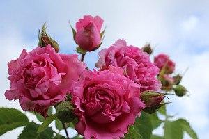 Rose Bienvenue® (im grossen Container)