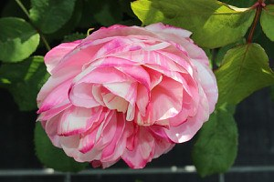 Rose Billet Doux ® (im grossen Container)