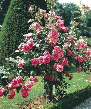 Rose Campanile ® (im grossen Container)