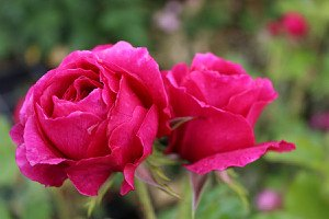 Rose Chantal Baudron ® (im grossen Container)