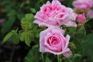 Rose Comte de Chambord (im grossen Container)