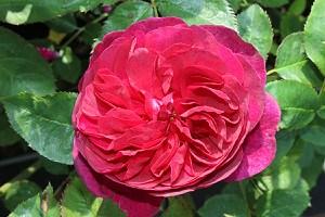Rose Darcey Bussel® (im grossen Container)