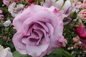 Rose Dioressence® (im grossen Container)