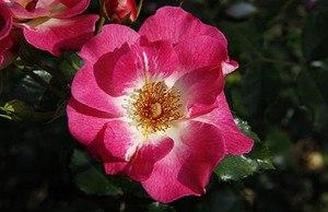 Rose Dolomiti® (im grossen Container)