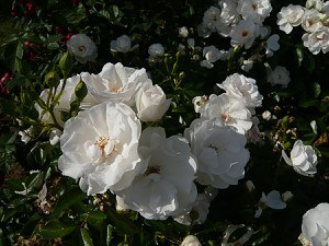 Rose Dominique Loiseau ® (im grossen Container)