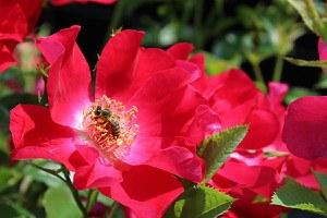 Rose Dortmund® (im grossen Container)