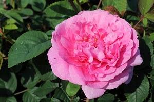 Rose England's Rose (im grossen Container)