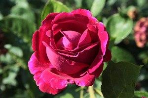 Rose Falstaff® (im grossen Container)