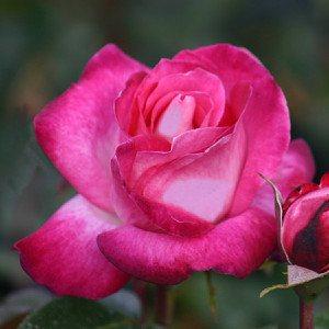 Rose Gaujard®