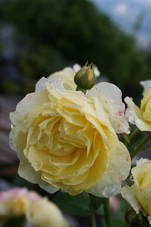 Rose Golden Border® - gelbe Bodendeckerrose