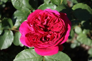 Rose Heathcliff (im grossen Container)