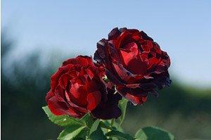 Rose Heinz Winkler ® (im grossen Container)