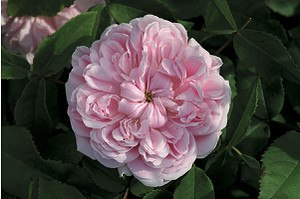 Rose Jacques Cartier (im grossen Container)