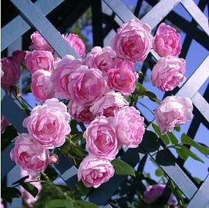 Rose Jasmina® Kletter®Maxe (im grossen Container)