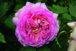Rose Jubilee Celebration® (im grossen Container)