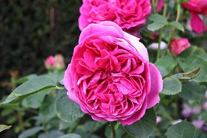 Rose Lady of Megginch® (im grossen Container)