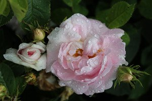 Rose Maidens Blush (im grossen Container)