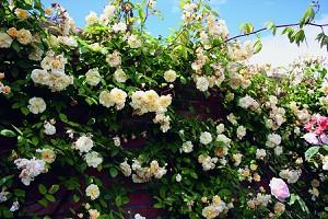 Rose Malvern Hills® (im grossen Container)