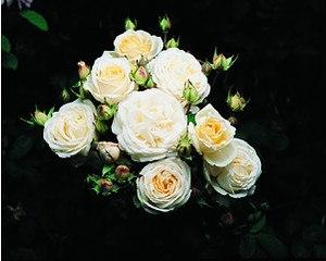 Rose Manuel Canovas ® (im grossen Container)