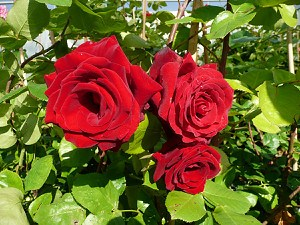 Rose Messire Delbard ® (im grossen Container)
