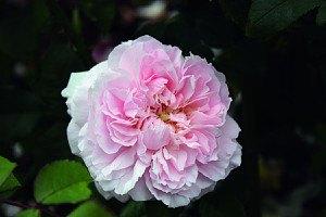 Rose Miss Alice® (im grossen Container)