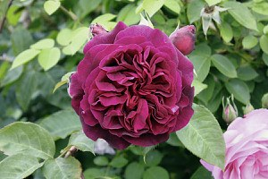 Rose Munstead Wood® (im grossen Container) Kopie