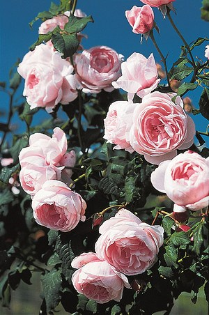 Rose Nahema® (im grossen Container)