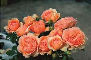 Rose Nicole Mioulane ® (im grossen Container)