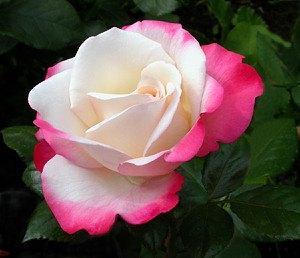 rose blue saphir 1 pflanze g nstig online kaufen mein sch ner garten shop. Black Bedroom Furniture Sets. Home Design Ideas