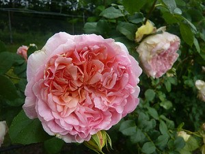 Rose Papi Delbard ® (im grossen Container)